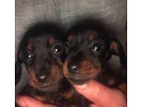 Kc reg dachshound puppy both girls