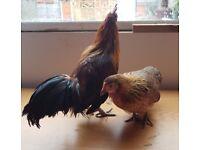 Garden Dwarf breed chickens