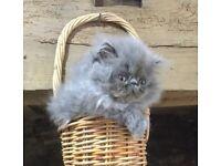 Blue Persian female kitten