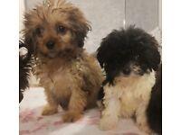 Shih tzu x Cavapoo puppy's