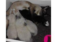Siamese x ragdoll ragamese kittens