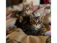Maine Coon x British Shorthair kitten