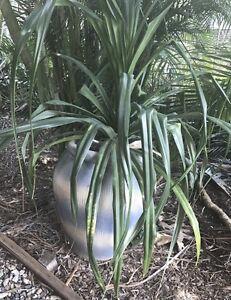 Large Pandanus Plant Paddington Brisbane North West Preview
