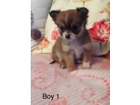 Chihuahua Puppies (BOYS ONLY)