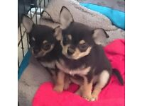 Smooth coat Chihuahua puppies