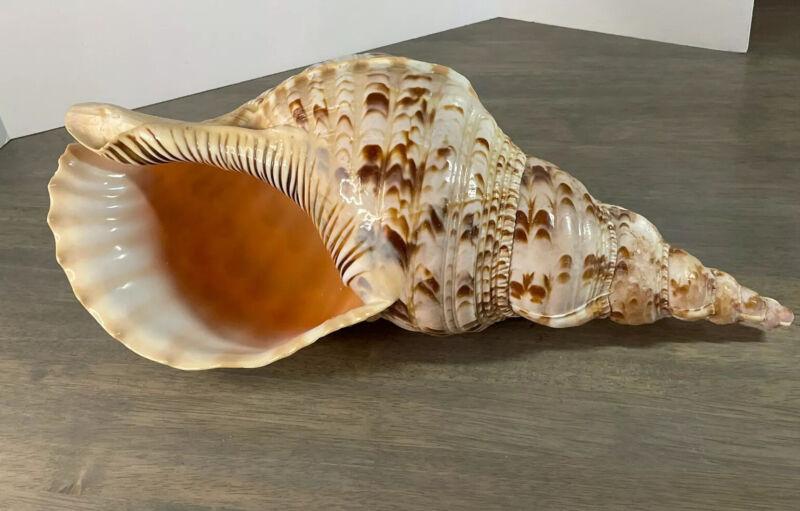 "Large Beautiful Triton Trumpet Conch Shell 14.75"""