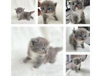 Beautiful fluffy Ragdoll X Kittens for loving homes