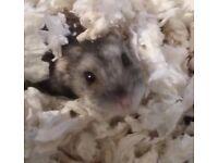 8 month male russian dwarf hamster