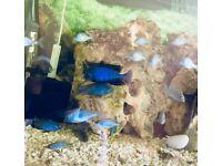 African cichlids Dolpine fish between 2/3 inch