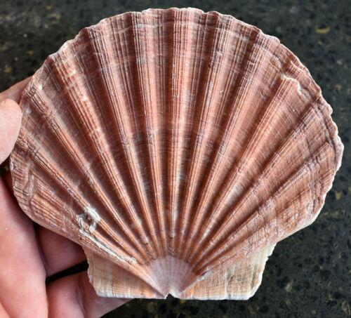 """1 Extra Large Irish Flat Scallop Shell Seashell 5""""+ Crafts Beach Cottage Decor"""