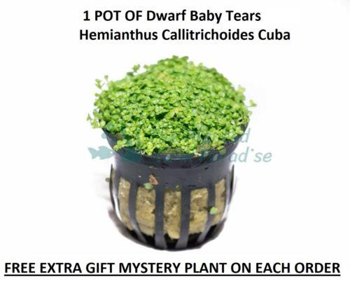 BUY 2 GET 1 FREE Dwarf Baby Tears Pot Hemianthus Callitrichoides Cuba Carpet