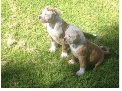 American bulldog puppies Gingin Gingin Area Preview