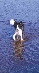 11 months female desexed Border Collie Foxie Bayswater Bayswater Area Preview