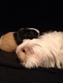 Two female guinea pigs with large indoor cage and accessories