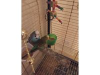 Beautiful Budgi's with cage for sale