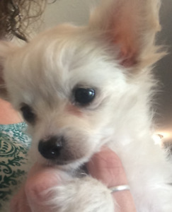CUTE, CUDDLY, PLAYFUL CHIHUAHUA PUPPIES FOR SALE!!!!
