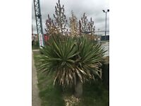 Yucca palm tree with white flowers