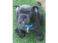 2 x Beautiful puppy Blue French Bulldog Boys for sale