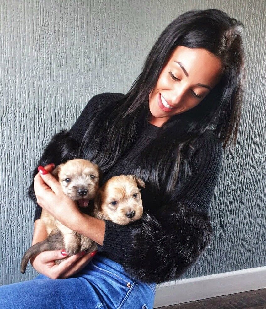 Glen Of Imaal Terrier Puppies Extremely Rare Irish Breed In Antrim County Antrim Gumtree