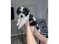 Teddy bear Bichon x Maltese x Shih Tzu puppies READY NOW