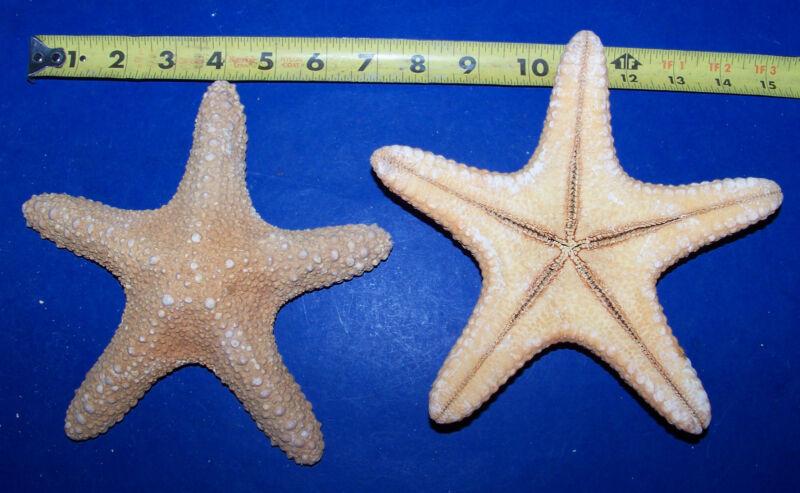 "1 dried real Jungle starfish shell nautical sea star decor 7""+ # J7-1"