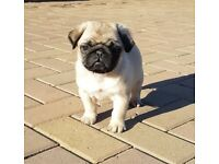 Chunky Pug Puppy