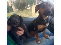 Bedlington x jack Russell puppies