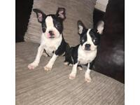 Boston Terrier Puppys For Sale