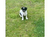 Jackapoo F1 jack Russell cross poodle