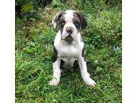Merle Bulldog Puppy (IABBR Registered)