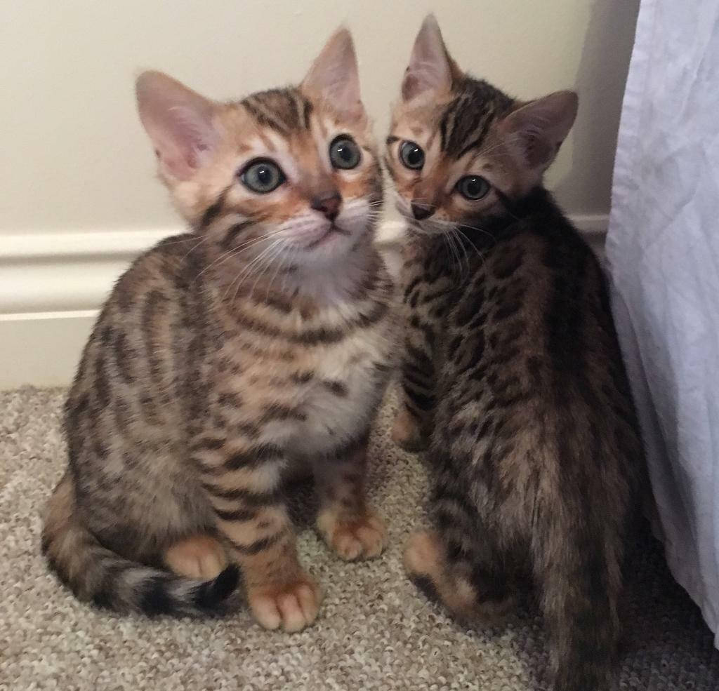 TICA Bengal Kittens for sale | in Westward Ho, Devon | Gumtree