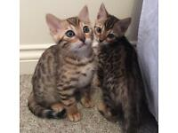 TICA Bengal Kittens for sale
