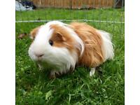 Male guinea pig 18 months old