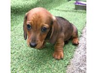 Dachshund Dogs Puppies For Sale Gumtree