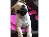 Pug puppies girls fawn black face KC Registered