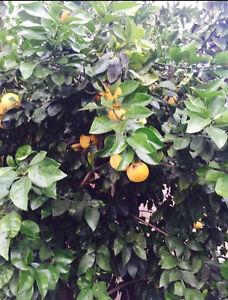 Grape Fruit Tree Ascot Belmont Area Preview