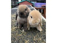 2 x beautiful BABY mini lop sisters BOTH FOR £120 !!