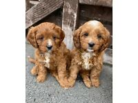Ready now!! Beautiful litter of F1 Cavapoo puppy's.