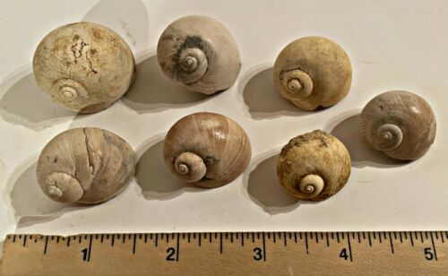 France Fossil Gastropods Natica sp. Miocene Megalodon Age 1 PER PURCHASE