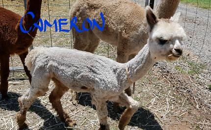 Grey female alpaca and grey female cria, free delivery