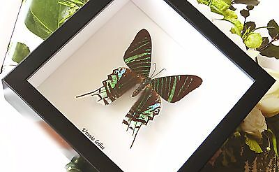 Real moth shadowbox collectible home decor item for sale URANIA LEILUS BAUL
