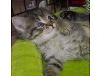 Persian Chinchilla X Persian kittens