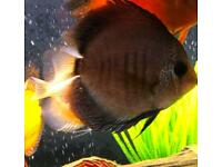 Stendker Discus 2x cobalt/red 5inches gorgeous fish