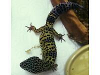 Female leopard gecko and brand new full setup