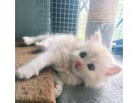 Persian x ragdoll last two kittens