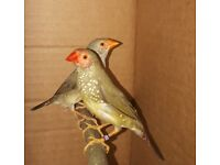 Zebra finches,*finches for sale