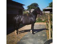 Quality registered Welsh C Pony