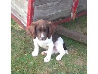 Big strong male springer pup for sale