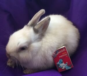 "Pure.Miniature Netherland Dwarf Bunny.""LAST""Cream Bunny.Male Caroline Springs Melton Area Preview"