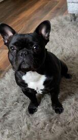French Bulldog 1 year old
